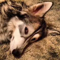 My wolfdog Shi relaxing after a good run and some good play time with her BFF