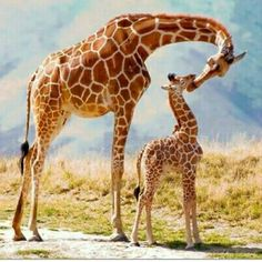 Mother's love - Giraffe here to find out more baby Animals Animals Giraffe Pictures, Mom Pictures, Animal Pictures, Animals Photos, Giraffe Images, Smile Pictures, Random Pictures, Cute Baby Animals, Animals And Pets