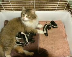 Click to see how a mother cat's instincts save a family of baby skunks.