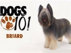 ▶ Dogs 101 - Briard - YouTube