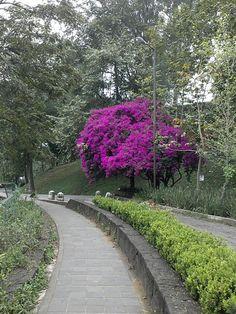Hermosa bugambilia, Xalapa