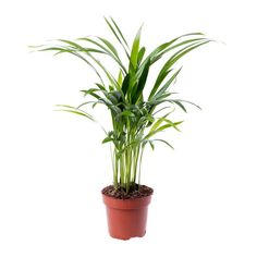 Buy kentia palm Howea forsteriana - An easy to grow palm for the house or conservatory: pot - tall: Delivery by Crocus Cat Safe Plants, Container Plants, Air Plants, Houseplants, Rum, Greenery, Planter Pots, Flowers, Conservatory