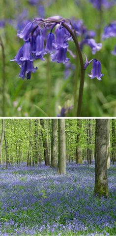 Endangered English Bluebells, they have a beautiful smell.
