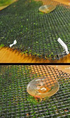 How to Grow Aquatic Moss Wall - Aquascape Aquarium - Freshwater Aquarium Plants for Beginners