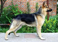 Markhi. East-European Shepherd | All Dog Breed Pictures