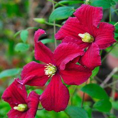 Clematis 'Burning Love' is ideal for container gardens!
