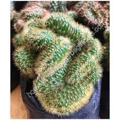 Brain Cactus photo - Home Gardening for Beginners Gardening For Beginners, How To Relieve Stress, Cactus Plants, Brain, Home And Garden, Wall Decor, Wallpapers, Stock Photos, Projects