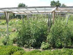 rajče bez  chemie Olympus Digital Camera, Permaculture, Pesto, Garden, Plants, Mexico, Chemistry, Garten, Lawn And Garden
