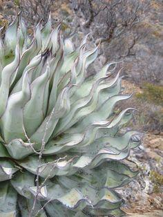 Agave sebastiana mutant (for seascape succulent garden) Succulent Gardening, Cacti And Succulents, Planting Succulents, Cactus Plants, Planting Flowers, Unusual Plants, Rare Plants, Exotic Plants, Cool Plants