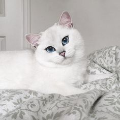 Let Coby Captivate You With His Striking Blue Eyes.  This classic British Shorthair enjoys playing with his rubber ducky and dressing up in costumes!.