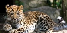 Please sign! There are only 30 of them left in the world. Save the Amur Leopards