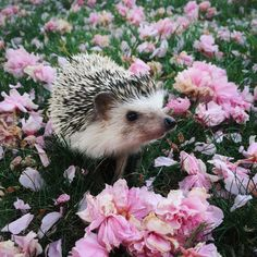 """tessarecovering: """" My hedgehog, Hazel, has got to be one of the cutest ESAs.  I took her outside to enjoy the spring weather the other day. I think she had fun walking through the flower petals.  P.S. You can follow Hazel on Instagram @..."""