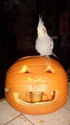 Cockatiel / pumpkin