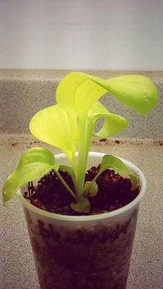 Rosedale Blendmaster x seedling