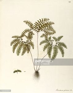 ニュース写真 : Herbal, 18th-19th century. Iconographia...