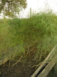 How to Transplant Established Asparagus- prepare bed in fall with compost and transplant in EARLY spring before shoots emerge