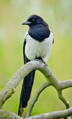 EURASIAN MAGPIE - Pica pica . . . Also European Magpie, Common Magpie . . . Europe and Asia