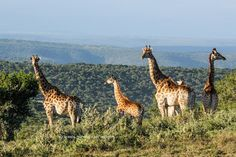 Tall, majestic and peaceful Giraffes of Bucklands. Private Games, Game Reserve, Giraffes, South Africa, Wildlife, Photography, Animals, Photograph, Animaux