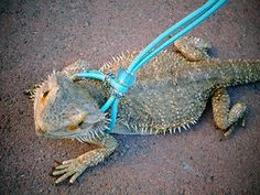 READY TO SHIP Bearded Dragon Reptile Leash by GreenEggsAndCrafts