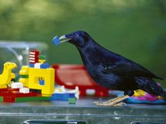 Satin Bower Bird collecting blue lego to decorate his bower.