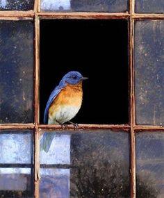 In the open window - we had 7 bluebirds together in our bird bath in Bermuda- true!!