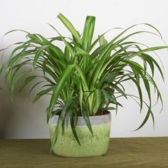 Houseplants That Filter the Air We Breathe Chlorophytum Comosum 'Hawaiian' All Plants, Types Of Plants, Chlorophytum, Garden Site, House Plant Care, Christmas Cactus, Spider Plants, Plant Pictures, Plants