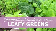 Harvest early spring, broadcast sown leafy greens, how to grow leafy greens in early spring, How to become self-sufficient on less than 1 acre, Growing Veggies, Harvest Season, Early Spring, Acre, How To Become, Seasons, Vegetables, Garden, Beginning Of Spring