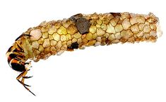 Artist Hubert Duprat gives a caddis fly gold to build with....  amazing