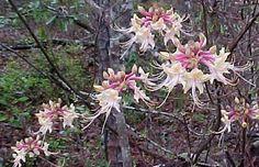 Swamp azalea Wild Azalea is also known as Wild Honeysuckle or Smooth Azalea.