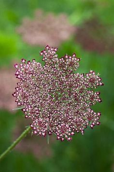 Daucus carota 'Black Knight' - Exellent for pollinators