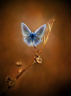 Little blue butterfly