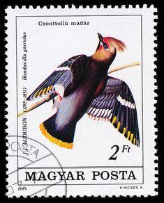 Bombycilla garrulus, Hungary, 1985