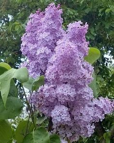 love the smell of lilacs