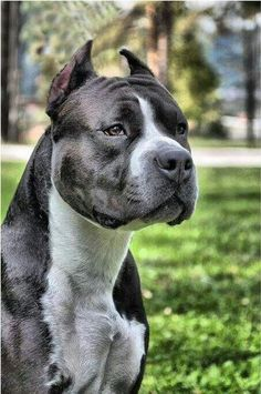 Do you love Pitbull? If yes read the types of Pitbull Breeds that are really popular right now. This list of Pitbull breed is very famous because of their extra ordinary characteristics Pitbull Terrier, Amstaff Terrier, Bull Terriers, Big Dogs, I Love Dogs, Cute Dogs, Dogs And Puppies, Rottweiler, Nanny Dog