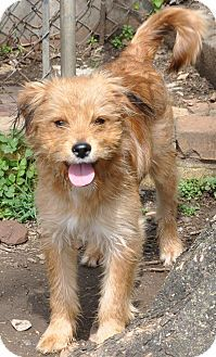 Crossville, AL - Wirehaired Fox Terrier Mix. Meet Kit, a dog for ...