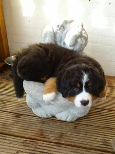 Funny Berner puppy
