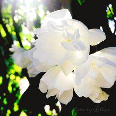 .:jaśnie pan jaśmin  #photobybligu #indagarden #inthegarden #jasmine #jaśmin #flowers #whiteflowers #wogrodzie #lato #summer http://misstagram.com/ipost/1546525952515141025/?code=BV2XSjzlm2h
