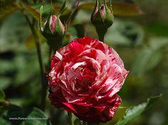 Floribunda Peppermint Twist