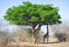 Giraffe trimming the browse line of a magnificent Pod Mahogany tree (afzelia quanzensis) at Singita Pamushana Lodge, Zimbabwe. Photo: Jenny Hishin.