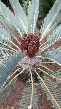 E.eugene-maraisii male cones  Jan.2017