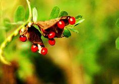 കുന്നിക്കുരു Back To Nature, Trees To Plant, Greenery, Seeds, Flowers, Plants, Tree Planting, Plant, Royal Icing Flowers
