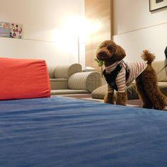 6/2(土)・3(日)、東京&大阪ショールームにてペットイベント「愛犬と一緒にローソファを試そう」を開催します!写真は先月ご来店いただいたワンちゃんたち~!スレンダーなトイプードルくんと、ウルウルおめめのチワワくんです。くつろいでいってくれたかな?  イベントは完全予約制・先着順となっております。応募フォームやご注意点はHPページにて!