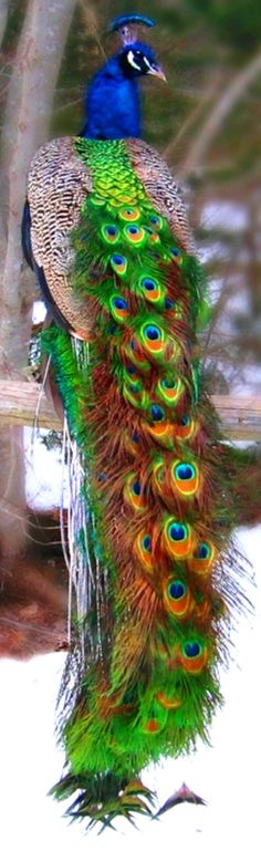 Colorful birds - Beautiful Peacock - from Totally Outdoors Pretty Birds, Love Birds, Beautiful Birds, Animals Beautiful, Animals Amazing, Exotic Birds, Colorful Birds, Exotic Pets, Animals And Pets