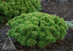 Dwarf Conifer - Pinus mugo ' Teeny ' Miniature Mugo Pine