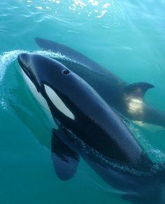 Orcas enjoying a peaceful swim