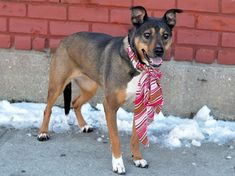 ~~~URGENT/TO BE DESTROYED: 3/12/15~~~ Brooklyn Center-P NYC ACC My name is ROXIE. My Animal ID # is A1028435. I am a spayed female tricolor aust shepherd mix. I am about 5 YEARS old.Reason for surrender: Owner has moved into a family residence and can not bring dog with him. Relationship: Owner has owned Roxie for 2 yrs. Roxie was rescued from a shelter 2 yrs ago. Roxie has no known health issues. People: Roxie lived with 2 adults and children ages 3 & 5. Roxie respects children but does not