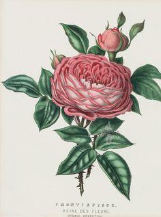 Frontispiece, Reine des Fleurs from Vintage Rose Prints by Henry Curtis 1850