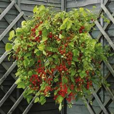 Hundreds And Thousands Tomatoes Basket