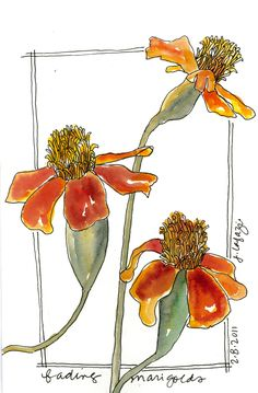 Marigolds from the sketchbook of Jane LaFazio