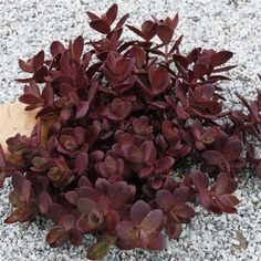 Ten Sedum Sunsparkler® Cherry Tart - 10 Live Fully Rooted Perennial Plants by Hope Springs Nursery - Stonecrop - Succulent foliage Perennial Plants, Ground Cover, Plants, Planting Flowers, Flowers, Xeriscape, Succulents, Perennials, Sedum